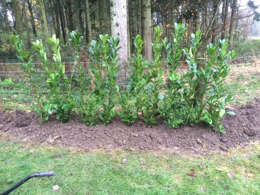 hedge-planting